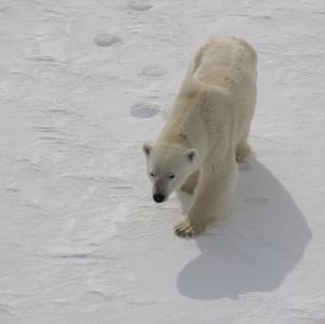 A curious bear approaches the ship.